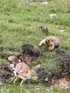 一只藏狐进入了一只和它体型相差无几的旱獭的领地,最终被赶走。摄影师 :谢建国/自然影像中国。
