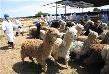 智利进口的近千只羊驼正在大兴接受检疫